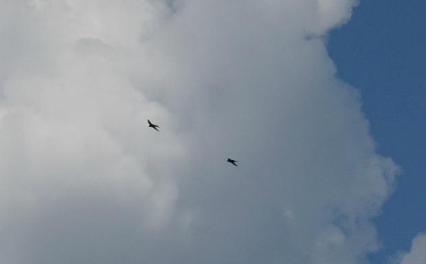 linnud taevas