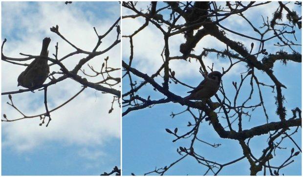 linnukesed