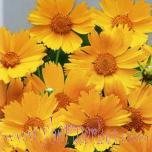 11407-suureõieline-neiusilm-baby-gold-coreopsis-grandiflora_cr